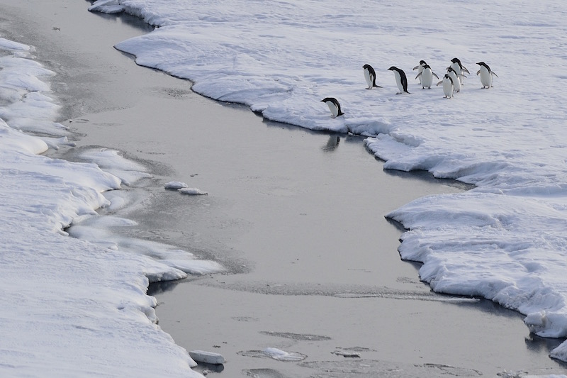 Adelie penguins, McMurdo Sound