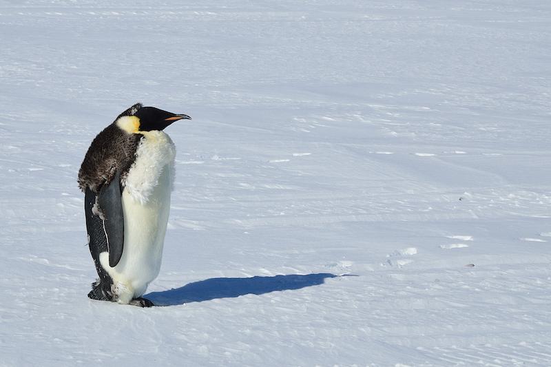 Emperor penguin - January 2012