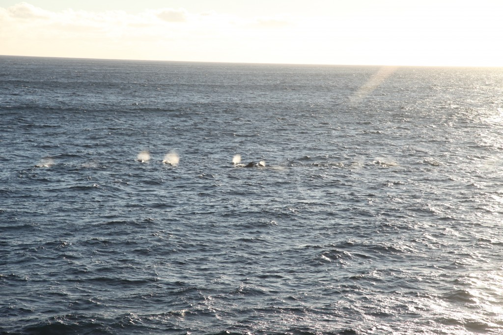 Pilot whales, air and water from their blowholes