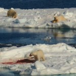 bears feeding on walrus