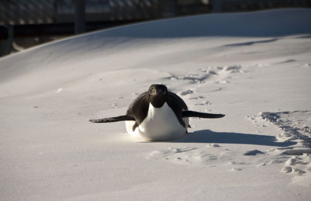 """I believe I can fly"", Adelie penguin"