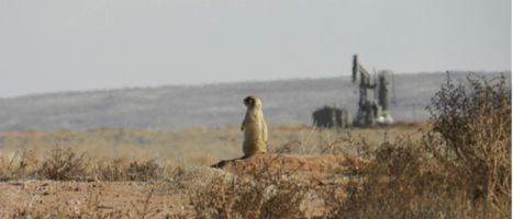 prairie dog with oil / gas equipment in background